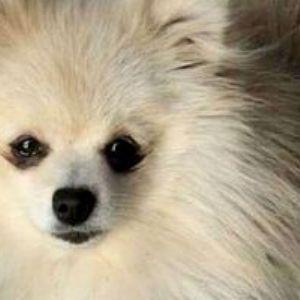 Família procura cachorro desaparecido e oferece recompensa