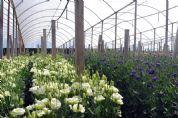 Empresa pilarense se destaca na produção de flores Lisianthus e Boca-de-leão