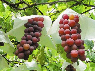 Preço da uva em Pilar do Sul é menor que safra anterior