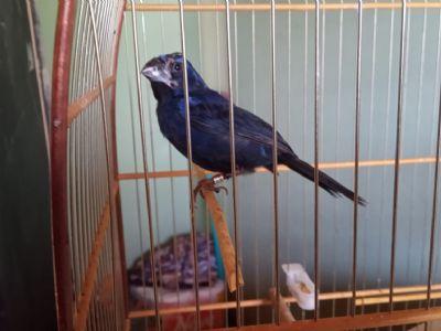 PM Ambiental flagra criador com pássaros irregulares em Pilar do Sul