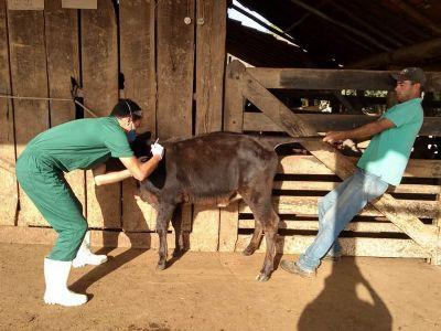 Prefeitura de Pilar do Sul inicia campanha de vacinação contra brucelose bovina