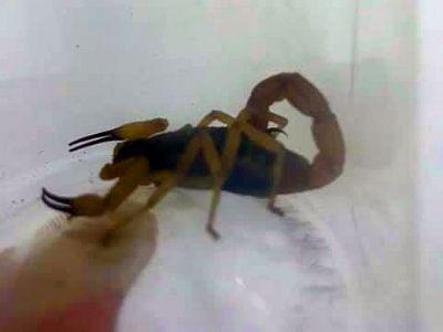 Homem é hospitalizado após ser picado por escorpião no centro de Pilar do Sul